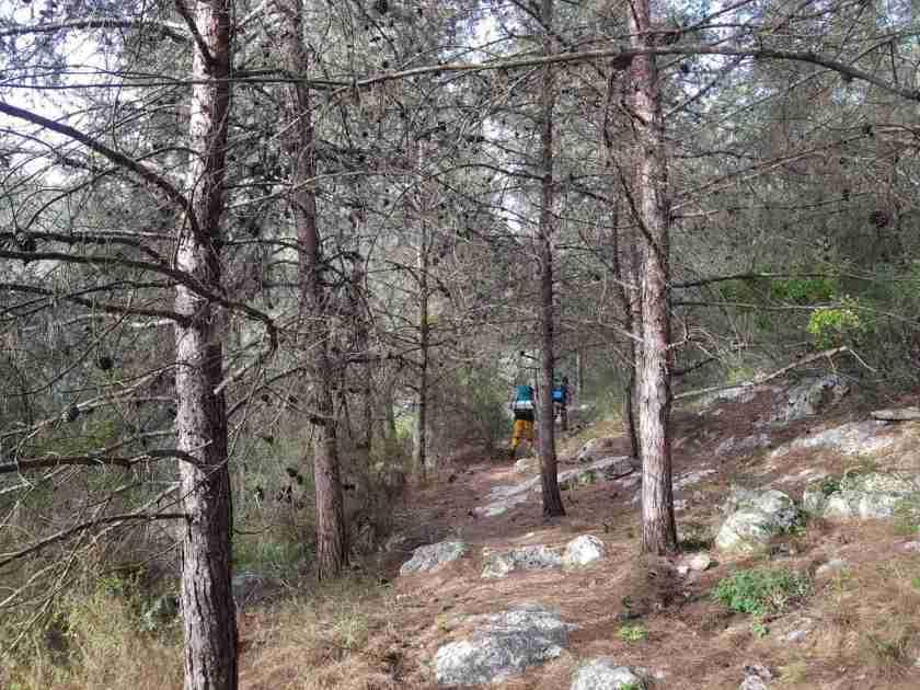 Walking between pine trees on the Ramot Menashe Regional Trail
