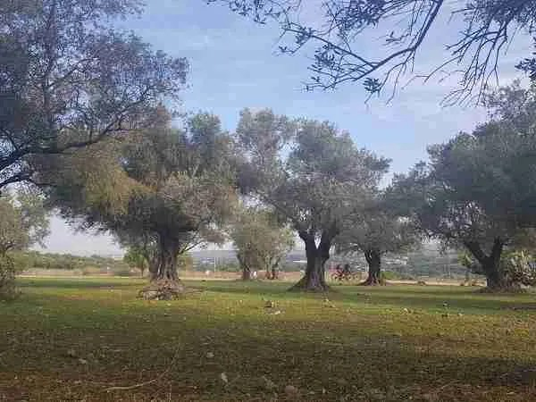 Olive grove on the Israel National Trail