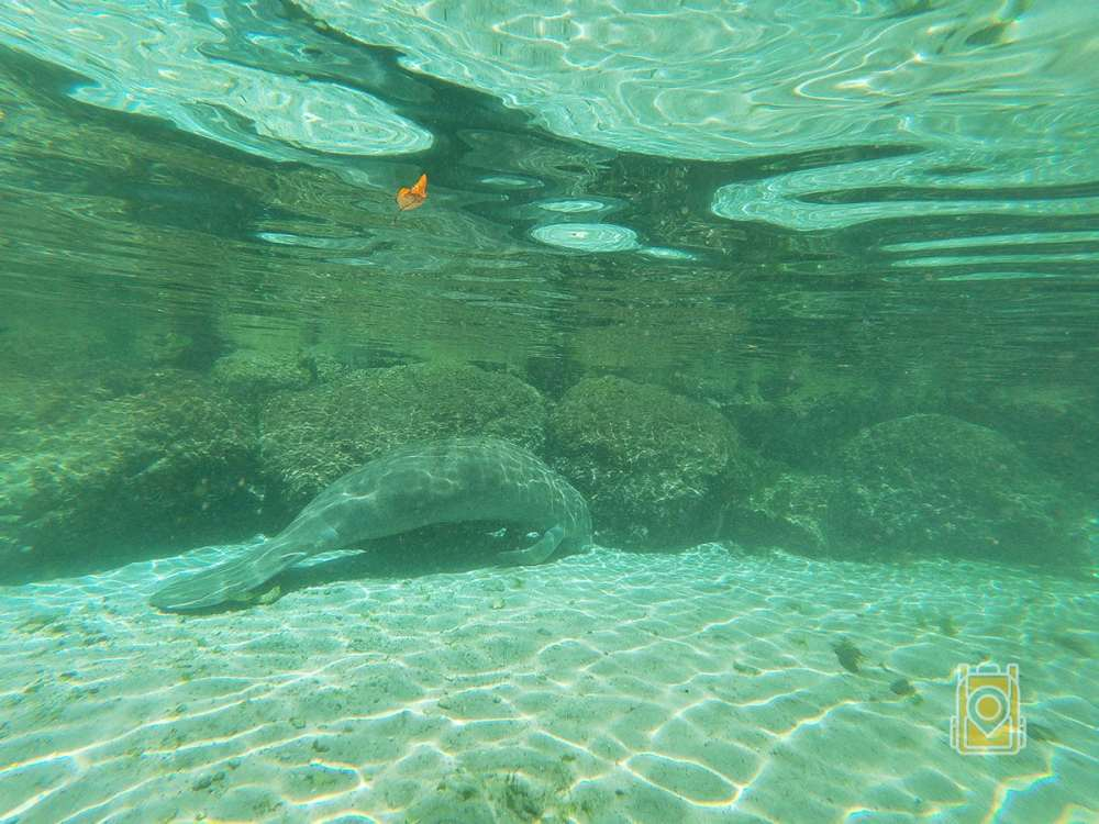 Swim With Manatees Florida: Manatee resting