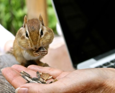 An Adorable Chipmunk Can Distract You From Your Work