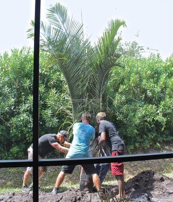 Planting A Large Triangle Palm