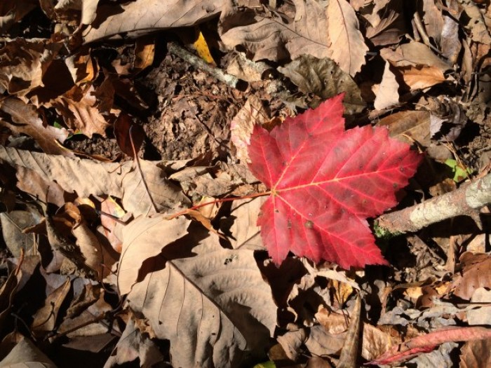 Scarlet Autumn Maple Leaf