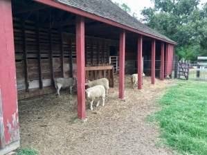 Barn Sheep Nash Farm