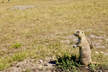 standing prairie dog