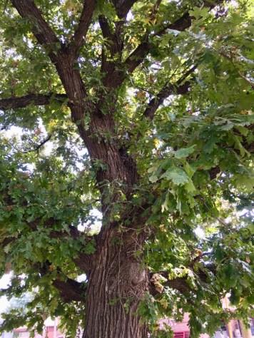 Council Grove oak tree