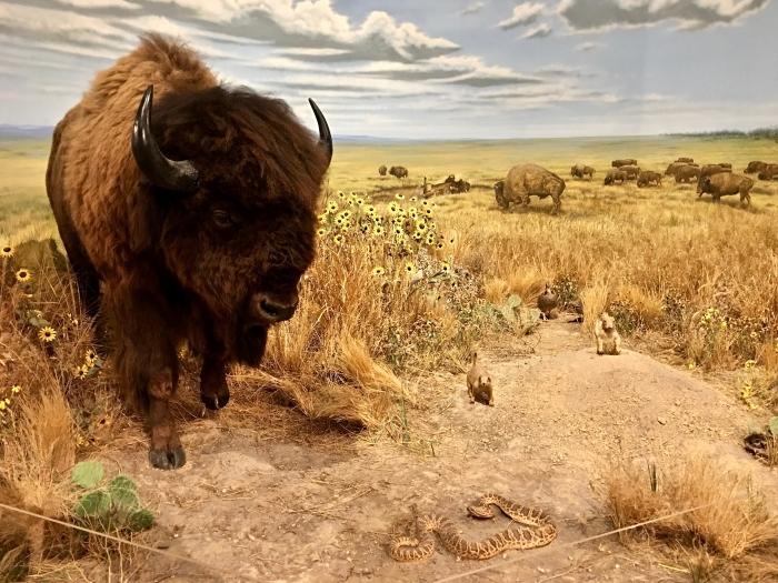 Kansas Museum of History buffalo prairie