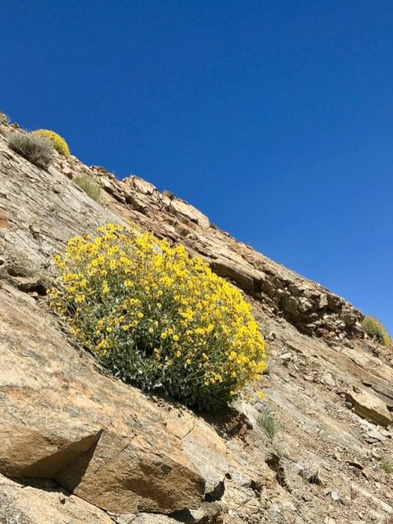 IMG 2215 - Wildflower Chasing at Anza-Borrego Desert State Park California
