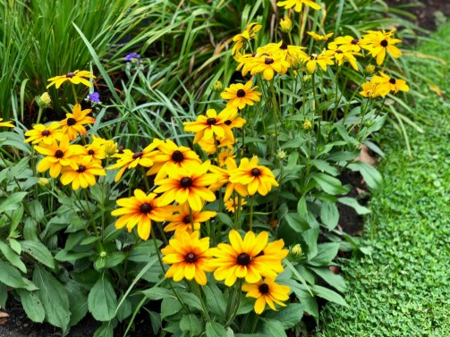 rudbeckia - Things to Do in Letchworth State Park