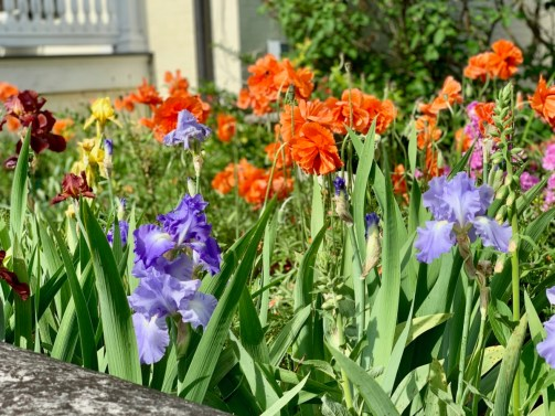 Blooming Irises - Fun Things to Do in Staunton Virginia