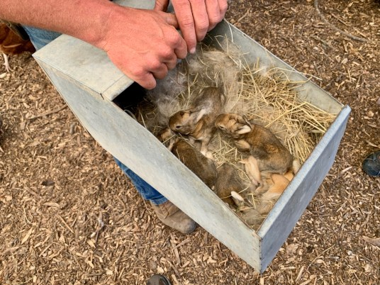 Polyface Farm Rabbits - Fun Things to Do in Staunton Virginia