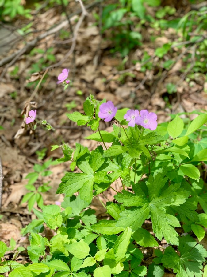 wild geranium - Visit Waynesboro Virginia: Gateway to the Shenandoah Valley