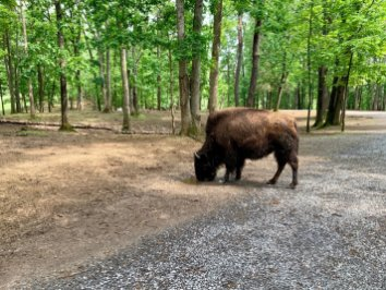 Virginia Safari Park Bison - Scenic & Historic Things to Do in Lexington, Virginia