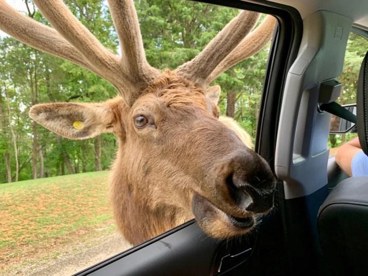 Virginia Safari Park Elk