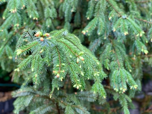 Capilano Conifer 1 - Tour Capilano Suspension Bridge Park and See Vancouver in a Day
