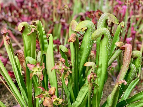 Georgia pitcher plants 3