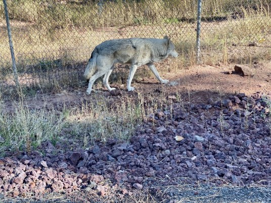 Bearizona wolf - Take the Train to Grand Canyon National Park: An Insider's Guide