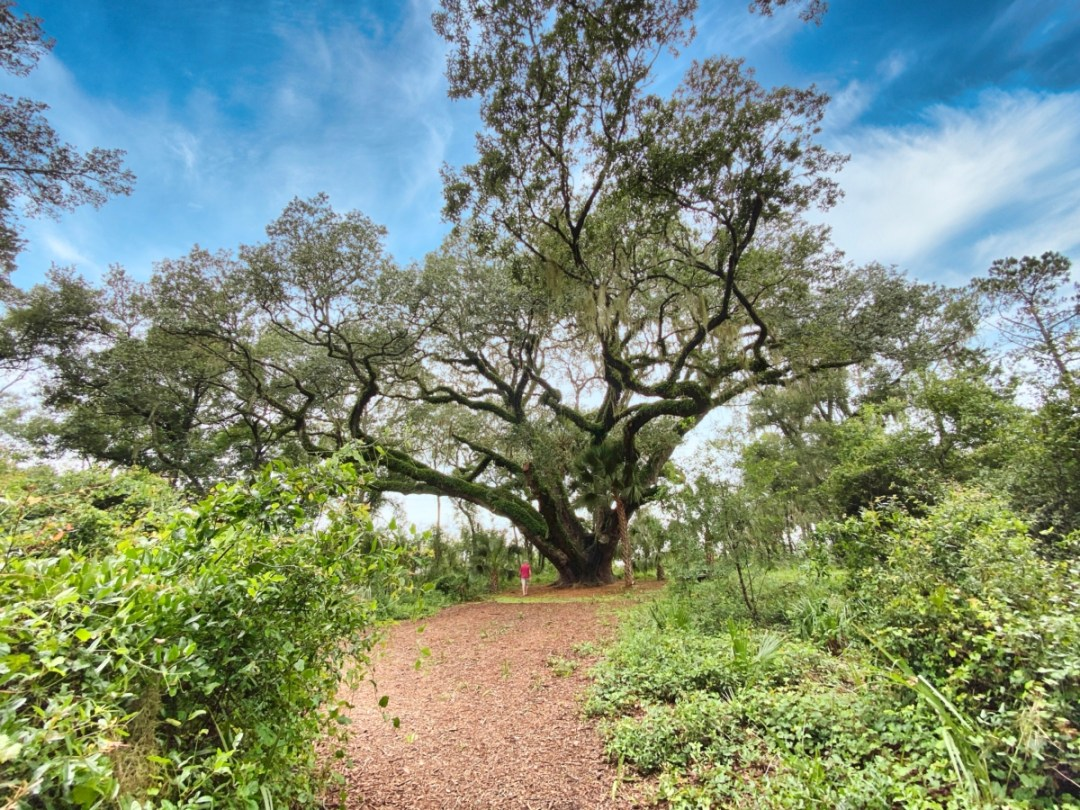 Lake Griffin SP mammoth live oak - Discover Lake County Florida Outdoor Adventures