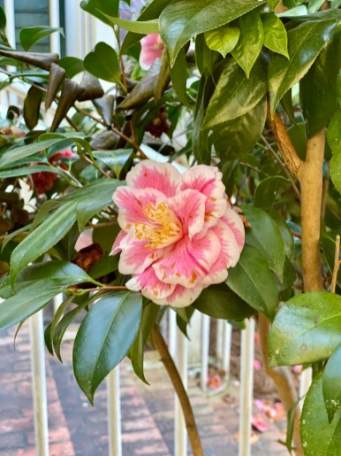 Pebble Hill camellia - Encounter Historic Quail Hunt Plantations in Thomasville GA