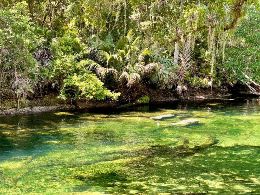 Blue Spring manatees - Discover Florida's Blue Spring State Park & Campground