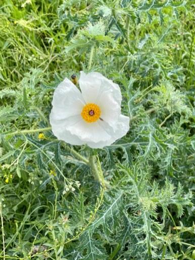 argemone munita prickly poppy - Plan an Unforgettable McKinney Falls State Park Camping Trip