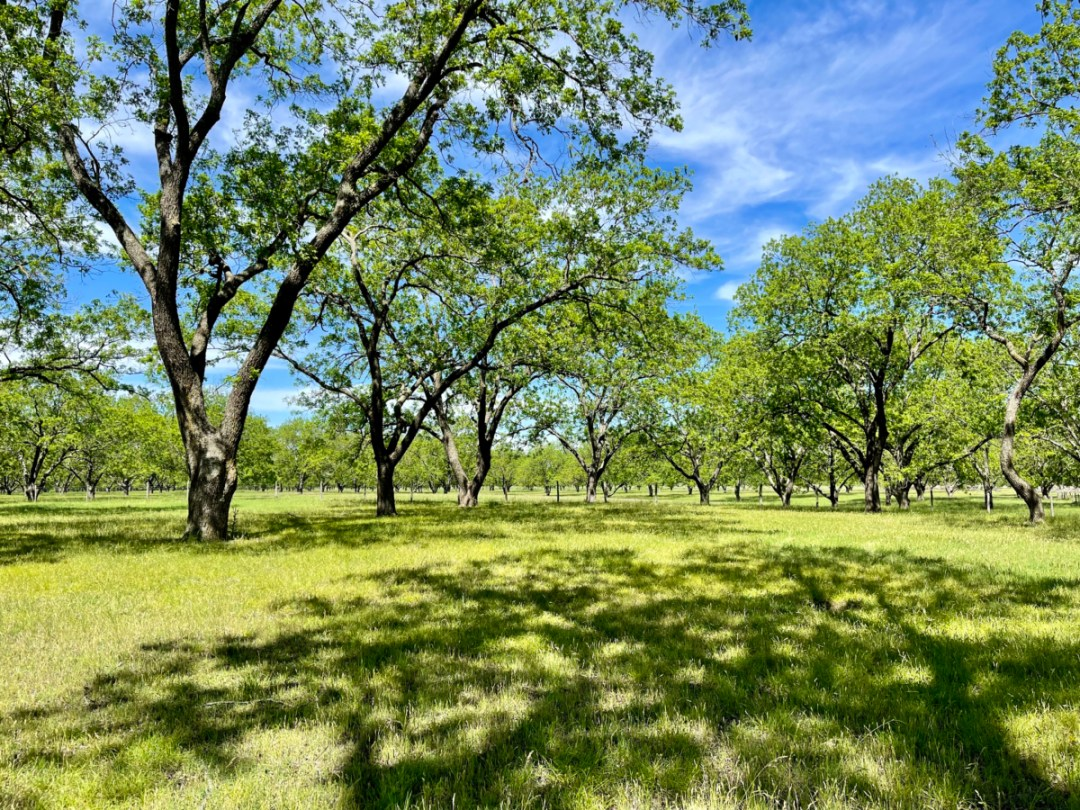 LBJ Ranch pecan grove - Explore LBJ Ranch and the Texas Hill Country