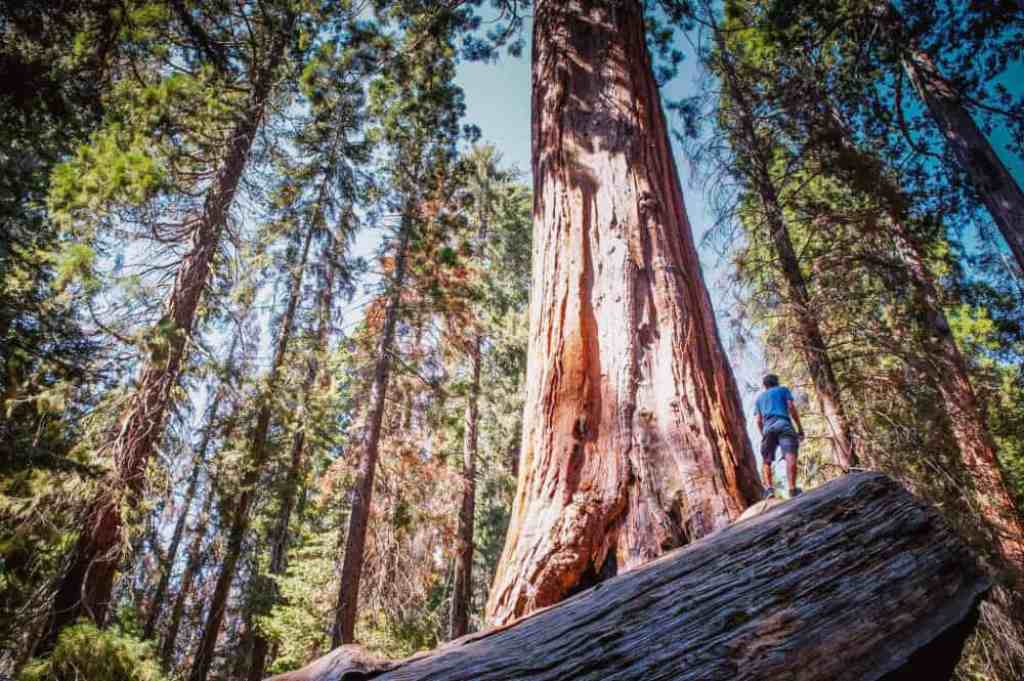 A giant tree in Sierra National Forest