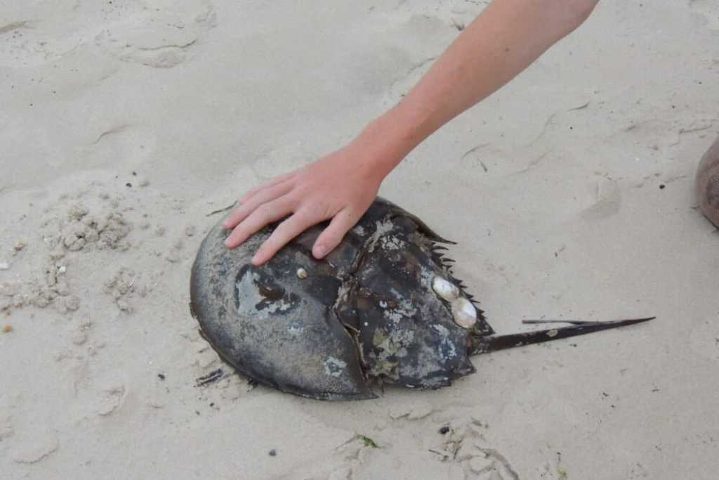 A huge horseshoe crab on Cape Henlopen Beach