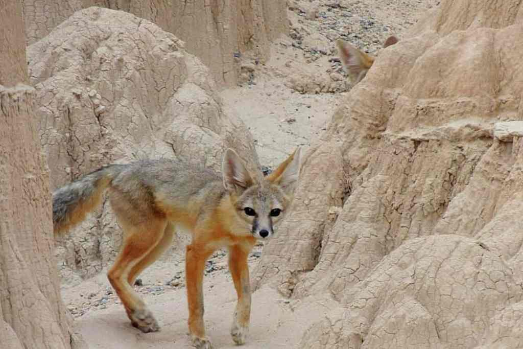 A lone kit fox in the gorge at Cathedral Gorge State Park