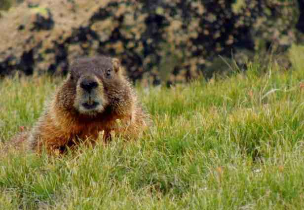 This yellow-bellied marmot kept an eye on us.