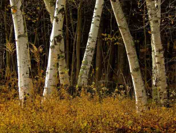 Birches - Appalachian Trail, Bennington