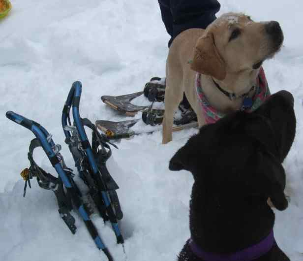 snowshoeing with your dogs