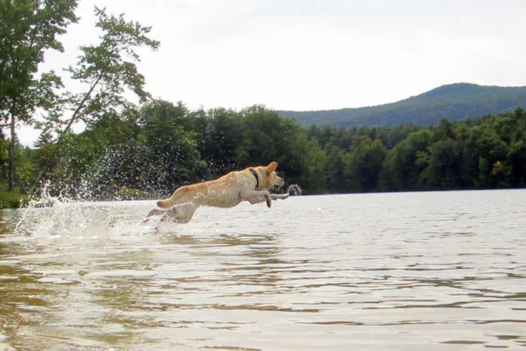 A yellow Labrador jumping in the lake