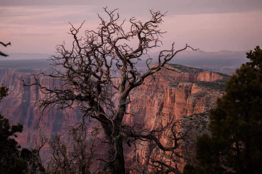 A gnarly tree at the Desert View Campground in the Grand Canyon