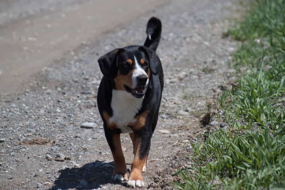 A black, white, and brown farm dog on a gravel road. Vermont.