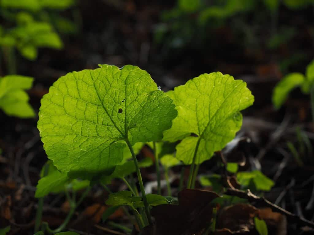 Garlic mustard is a tasty wild edible.