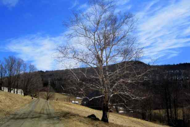 A lone birch tree on the farm road in Merck Forest. Best hikes for kids in Southern Vermont.