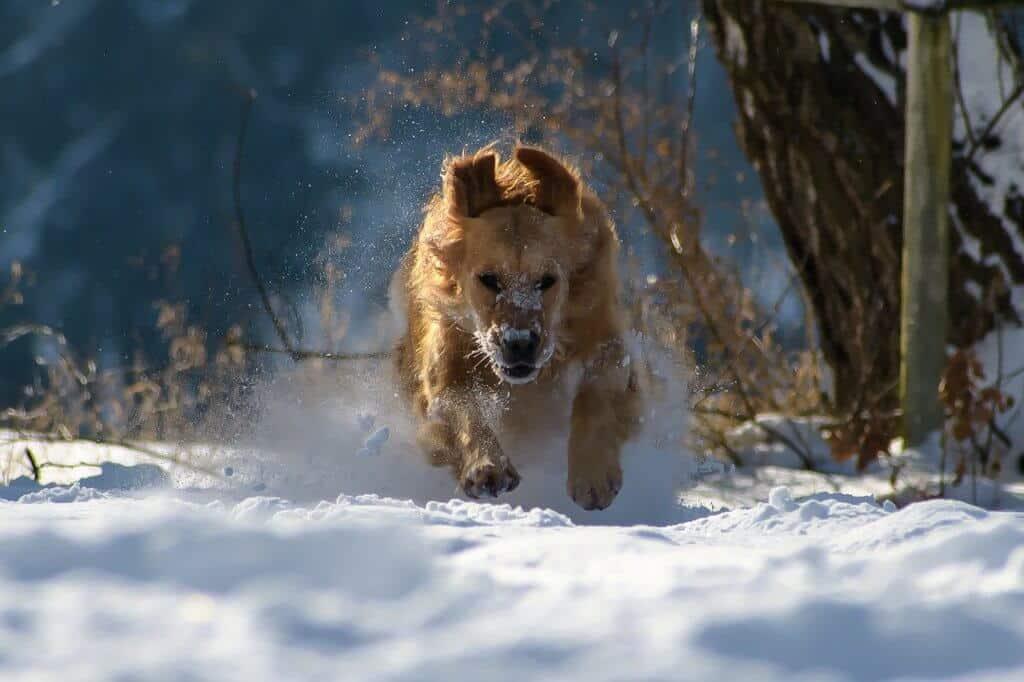 A golden retriever running through the snow
