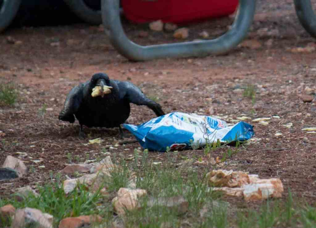 A raven eating potato chips at a campground in the Grand Canyon