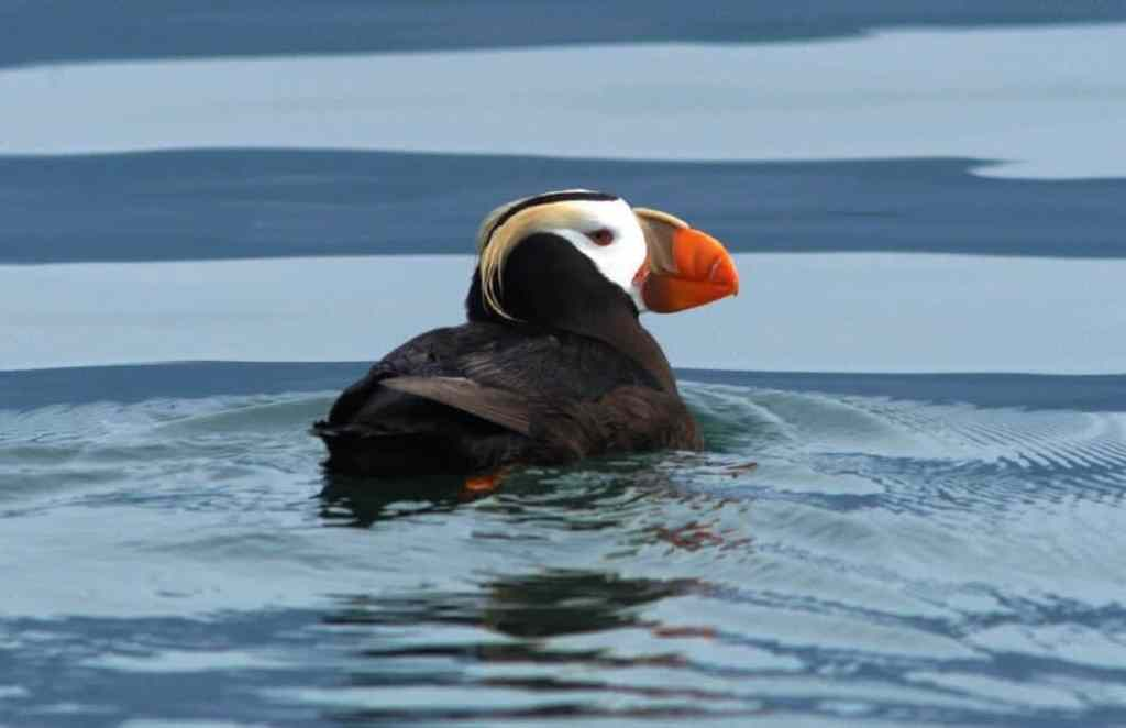 A tufted puffin swimming