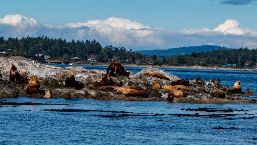 Several steller sea lions sunning themselves on a rocky island