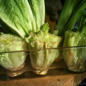 Regrow Kitchen Scraps: Romaine