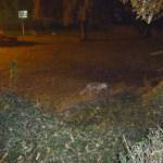Fox in Laleh Park