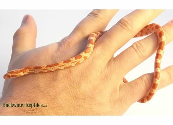 albino corn snake hatchling