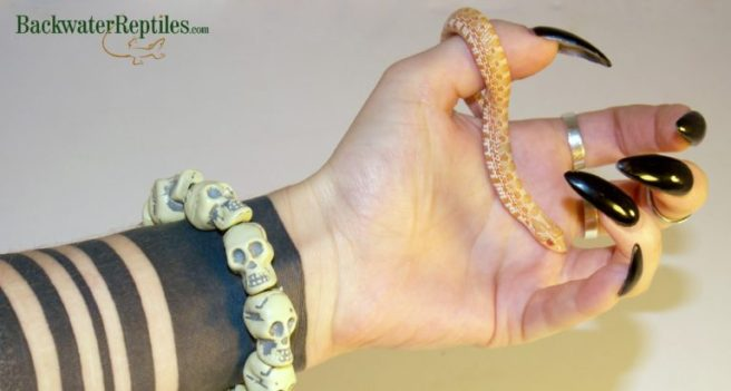 albino hognose snake baby