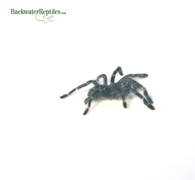 antilles pink toe tarantula spiderling
