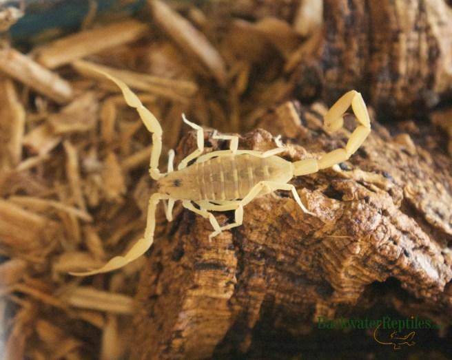 Invertebrates Archives - Backwater Reptiles Blog
