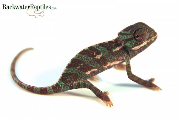 How To Care For Baby Chameleons