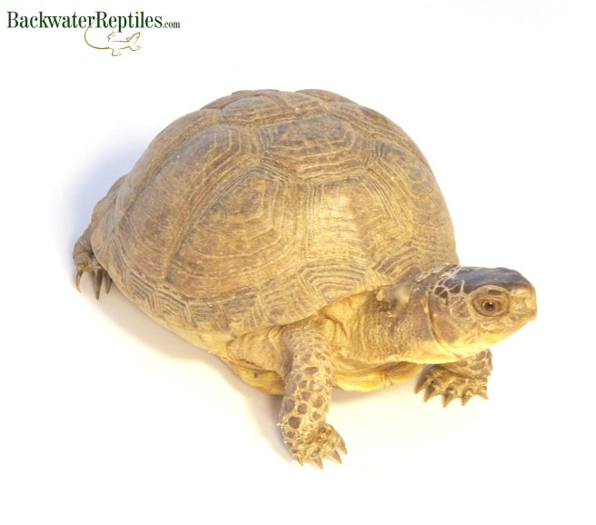 hybrid box turtle