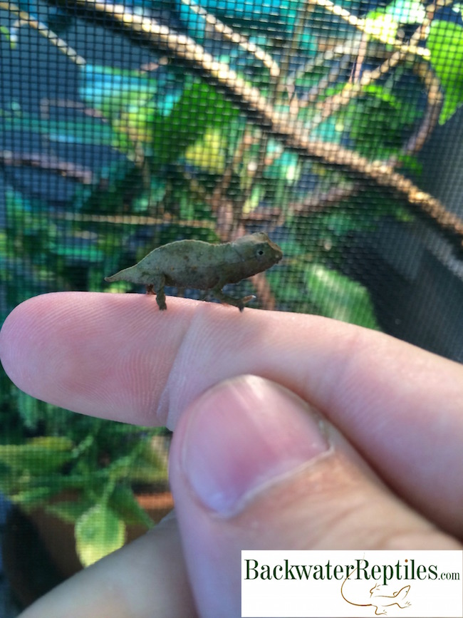 Ten Pygmy Chameleon Facts
