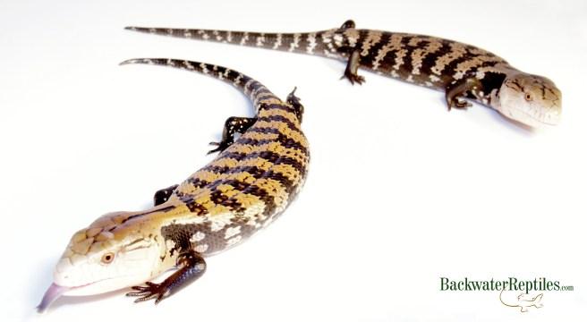 best omnivorous pet reptiles